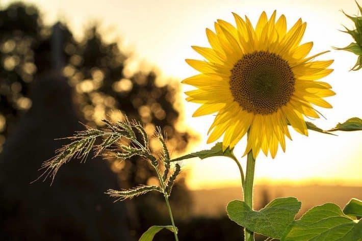 Etre radin. L'exemple de MA ferme autonome. Une fleur de tournesol.